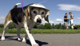(DENVER, Colo., June 11, 2004) A beagle with a visor was one of  hundreds of dogs  of all...