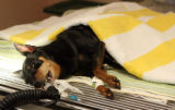 Chewy, a 6 year-old minature pincher, waits  on the operating table at  the Capitol Hill Animal...
