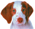 Norman, the brittany spaniel