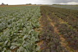 KAS134 Two varieties of kale grow in a field at Grant Family Farms, Colorado's largest organic...