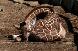 Mystic, a new baby giraffe, gets a nap in giraffe exhibit at the Denver Zoo Thursday morning July...