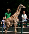 Mystic, a new baby giraffe, was out in the exhibit at the Denver Zoo Thursday morning July 13,...