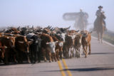 Some of the more than 650 Corriente long horned steers stay ahead of the men and women on...