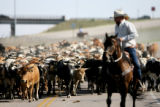 More than 650 Corriente long horned steers move as one on their drive from pasture north of...