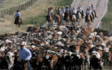 Some of the more than 650 Corriente long horned steers begin the drive from pasture north of...