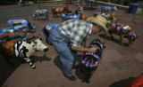 David Zupancic, (cq), foreground  middle, not a cow, with hat, places a final cow in place at the...