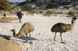 Livermore resident Terry Turner stands with some of her 34 emus in the coral Wednesday, Feb. 22,...
