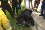 Paul Conrad/The Aspen Times After carrying a 350 pound black bear through heavy brush, Aspen...