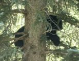 Paul Conrad/The Aspen Times After being shot with a tranquilizer dart, a black bear  rests in a...